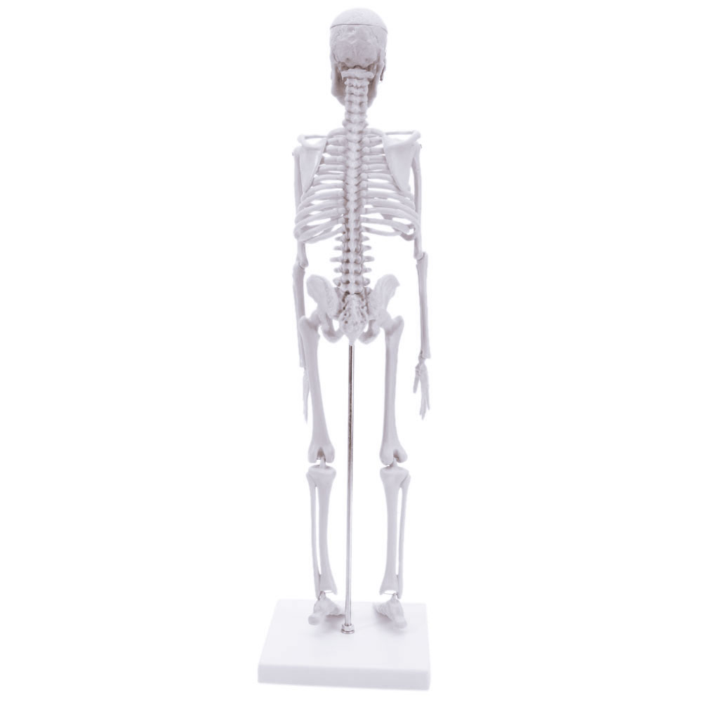 Skeleton Anatomical Human Model Anatomy Medical Display Stand School ...